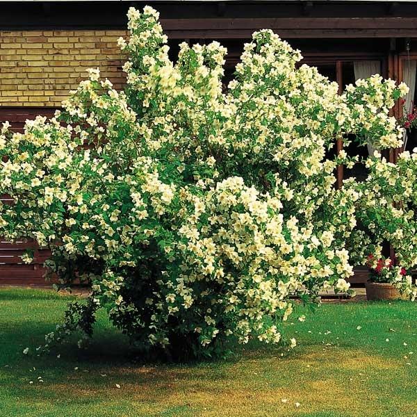 hårdføre buske til haven