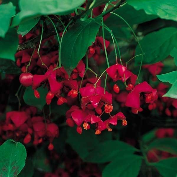 buske med rødt efterårsløv