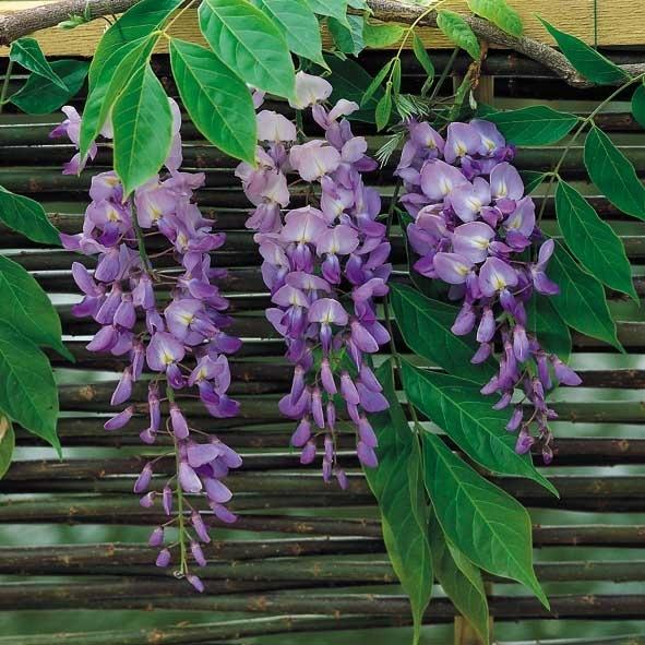Slyngplanter Skrædderbakkens Havecenter