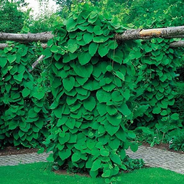 klatreplanter til skygge
