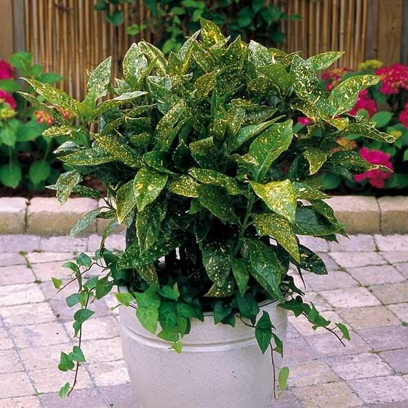 hårdfør stedsegrøn busk