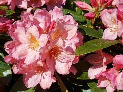 Gode råd til rhododendron