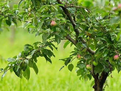 Dyrk frugt selvom pladsen er trang