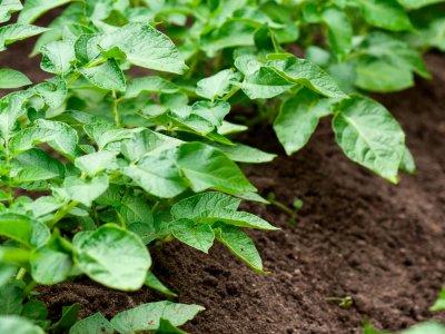 Kartoffeldyrkning