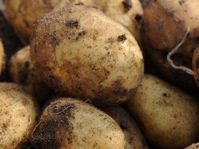 Kartofler ned i mørket